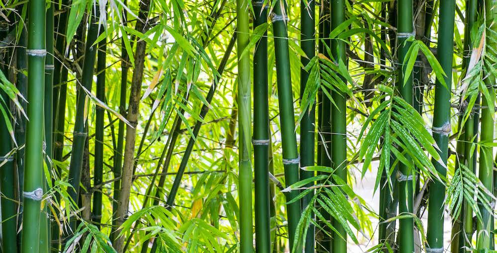 A Bamboo Mind